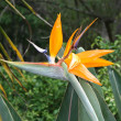 bird of paradise flower — Stock Photo
