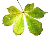 Leaf on a gleam, capillaries. — Stock Photo