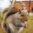 Squirrel — Stock Photo #1491890