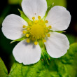 Stock Photo: Strawberry flower