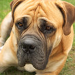 Boerboel — Stock Photo #1496197