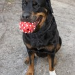 Rottweiler — Stock Photo #1496346