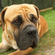 Boerboel — Stock Photo #1496495