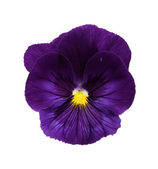 Viola/Pansy Series — Stock Photo