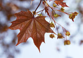 Brown leaf of a maple — Stock Photo