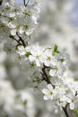 Flower of a cherry — Stock Photo