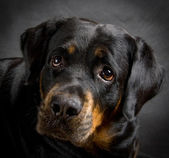 Dog of breed rottweiler. — Stock Photo