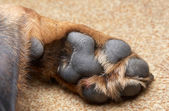 Paw of a dog of breed a Rottweiler — Stock Photo