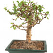 Bonsai Isolated — Stock Photo