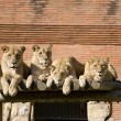Pack of Lions — Foto de Stock