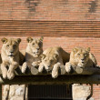 Royalty-Free Stock Photo: Pack of Lions