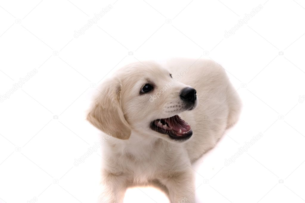 Baby Golden Retriever Portrait | Stock Photo © Hugo Felix #1487627