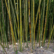 Bamboo grove — Stock Photo #1534081