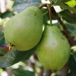 Ripe pears on a tree branch — Stock Photo #1917316