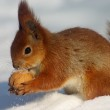 Red squirrel with nut — Stock Photo