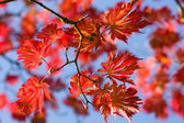 Red leaf of maple tree — Stock Photo