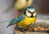 Funny blue tit — Stock Photo