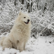 Samoyed dog in the snow bushes — Stock Photo