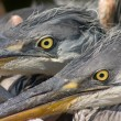 Glare of heron bird — Stock Photo