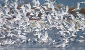 Flying up flock of birds — Stock Photo
