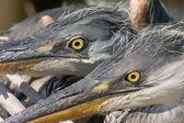 Glare of heron bird — Stock Photo
