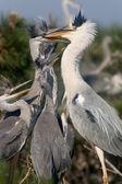 Heron feeding nestlings — Stock Photo