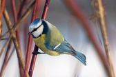 Blue tit in the bushes — Stock Photo
