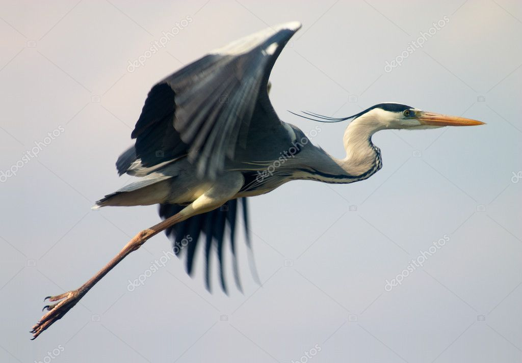 Flying heron bird in blue sky — Stock Photo #1507303