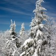 Snow covered fir trees — 图库照片