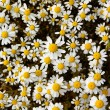 Blooming camomile — Stock Photo