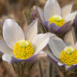 Royalty-Free Stock Photo: Pasque flowers blooming