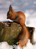 Red squirrel on tree stump — Stock Photo
