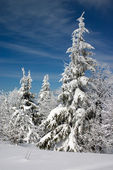Snow covered fir trees — Stockfoto