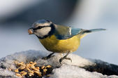 Blue tit bird eating seeds — Stock Photo