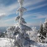 terra e abete alberi di inverno — Foto Stock