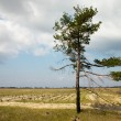 Loneliness pine tree — Stock Photo