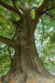 Majestic old tree — Stock Photo