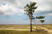 Loneliness pine tree — Stock Photo