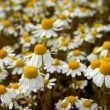 White camomiles — Stock Photo