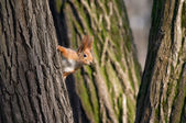 Squirrel look out from tree stem — Stock Photo
