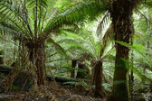 Tree-fern forest on Tasmania island — Stock Photo