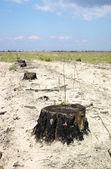Line of stumps — Stock Photo