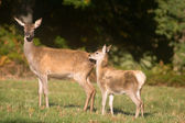 Mother deer and baby deer — Stock Photo