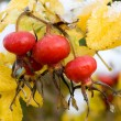 Dog rose berry — Stock Photo