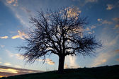 Big tree silhouette and sky with clouds — Stock Photo