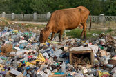 Cow on the dump — Stock Photo