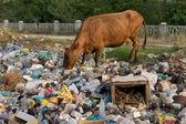 Kuh auf der müllkippe — Stockfoto