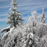 alberi d'inverno nella neve — Foto Stock