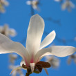Stock Photo: Blooming magnolia tree