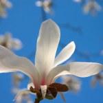 Blooming magnolia tree — Stock Photo
